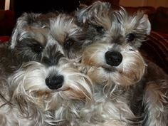 Remus and Riley two super darling mini Schnauzers just look at their faces,you will fall in love