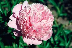 'Reine Hortense'   Pallomaiset kukat. Iso, kerrottu vaaleanpunainen, jossa aavistus sinistä.  Harmaan vihreä lehdistö
