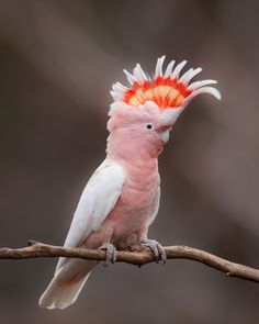 The Major Mitchell's Cockatoo - Lophochhroa leadbeateri, is mainly found in inland arid areas of mainland Australia. This species lives mostly in semi-arid and arid areas, in dry woodlands, particuarly mallee.  Photographer unknown.