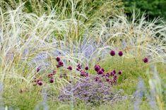 Round-headed leek, Drumstick Allium (Allium sphaerocephalon), feather grass (Stipa barbata) and Russian sage (Perovskia abrotanoides)
