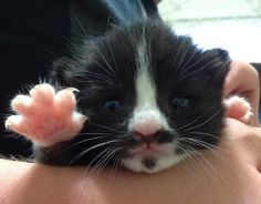 My girlfriend has a kitten with a mustache and goatee...we call her Mustachio - Imgur