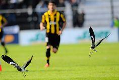 Los teros levantan vuelo en la cancha en pleno partido, por detrás aparece corriendo Luis Aguiar.