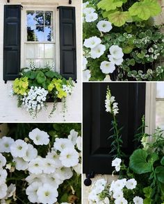 Boxing Windows: Pretty window box with black shutters flowers plants Jardin Decor, Black Shutters, Exterior Shutters, Green Windows, Moon Garden, White Gardens, Hanging Planters, Hanging Baskets, Fall Planters