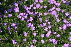 deer resistant flowering shrubs for shade | ... shade deer resistant rabbit resistant squirrel resistant xeric 1 6 10