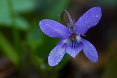 The very first violet | by smir_001 (on/off)