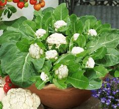 If you enjoy Cauliflower it's easy grow your own. To keep the Cauliflower white and tasty, you need to keep the heads covered with leaves while it is maturing. Have a soil that is fairly rich, especially in nitrogen and potassium and a pH level around 6.5-7. We've included a Soil Testing Kit to check your pH. Cauliflower also freezes well