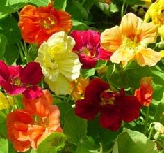 A low growing border plant with bright colored flowers in yellow, orange, and red. Flowers (and leaves) are edible and taste similar to watercress, add them to salad for a punch of color. Prefers cool