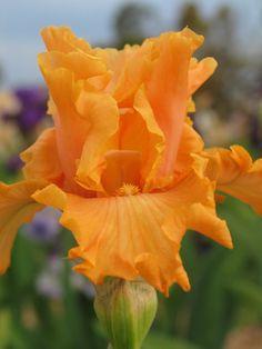 TB Iris 'Mango Entrée' (Blyth)