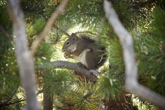 https://flic.kr/p/DGmZSZ | Yellowstone Squirrel (2)
