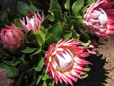Gorgeous King Proteas  Cape Winelands, South Africa