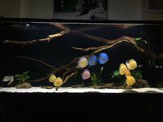 Diskus Aquarium, Biotope Aquarium, Discus Tank, Fish, Plants, Fish Tanks, Aquarium, Design Ideas, Furniture