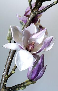Free Image on Pixabay - Flower, Nature, Plant, Magnolia
