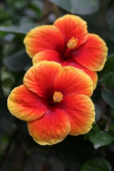 The perfect color combination for hibiscus! This flower will keep my lizard's bellies full as well as the deer!