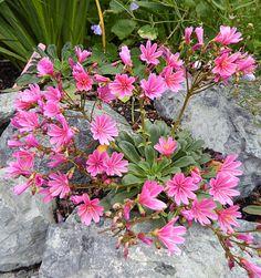 Lewisia longipetala Little Plum