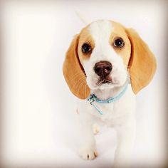 #beagle #snoop #love #pets #love4beagle #cute #picofday #dogs #dogs99 #woof #babe #sweet