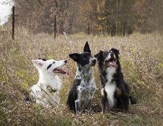 Farm collie/Farm Shepherd dog photo | Dog Family Portrait! - Pet forum for dogs cats and humans - Pets.ca