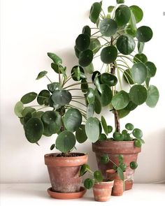 baby room pilea peperomioides terracotta pots plant gang plant family baby plants big plants plant b Big Indoor Plants, Large Plants, Little Plants, Cool Plants, Potted Plants, Nature Plants, Pilea Peperomiodes, Living Vintage, Decoration Plante
