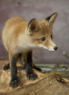 Red Fox Cub by Korkeasaaren elaintarha
