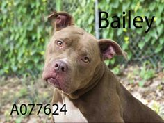 BAILEY - URGENT - located at Manatee County Animal Services in Palmetto, Florida - ADOPT OR FOSTER - Neutered Male Pit Bull Terrier Mix - at shelter since March 30, 2016 - Bailey is an active and Fun boy. HE really loves his walks and exploring the yard and playing fetch with you! He is learning new things and already knows sit, watch me and come.