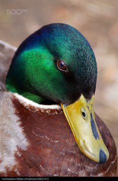 Waterfowl - Mallard duck (male) - title Shy - by Cherylorraine Smith