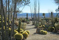 desert garden | Ocotillo, Barrel Cactus, and Cholla