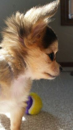 LOVE this pic of Koko!  Precious baby #chihuahua