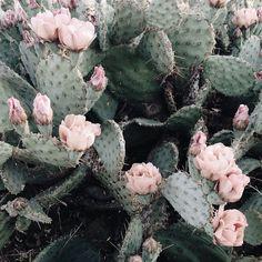 California Cacti