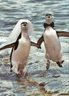 Penguin Love (Nick and I as penguins) Animals And Pets, Baby Animals, Funny Animals, Cute Animals, Baby Hippo, Wild Animals, All About Penguins, Cute Penguins, Penguin Wedding