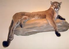 Taxidermy ~ Cougar
