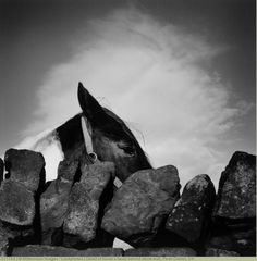 Detail of horse's head behind stone wall, Peak District, UK