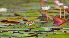 African jacana chick in Chobe National Park, Botswana - Bing Wallpaper. Bing daily images are all in bing. Provides Bing daily wallpaper images gallery for several countries. Chobe National Park, National Parks, Hidden Beauty, Image Of The Day, Wallpaper Pc, Daily Photo, Pet Birds, Bing Images, Cute Animals