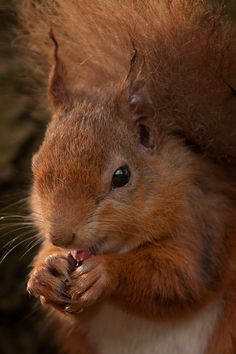 Red squirrel. Photo credit: Craig Doogan added to Facebook group Scotland from the Roadside Sunday 4th may.