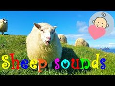 Crazy sheep scream | Sheep sounds and baaing | Funny animal sounds for children to learn - YouTube