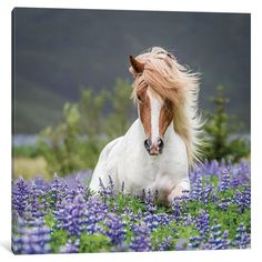 """iCanvas Trotting Icelandic Horse II, Lupine Fields, Iceland by Panoramic Images Canvas Print (Depth 1.5 - Size 26"""" x 26"""")"""