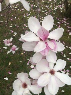 Spring blossoms #dogwood
