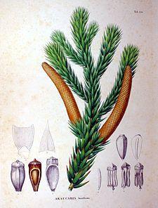 Araucária – Wikipédia, a enciclopédia livre