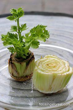 Aprovechando los desechos de la ensalada podemos rescatar un tallo de apio y hacer que vuelva a crecer de nuevo con esta idea.