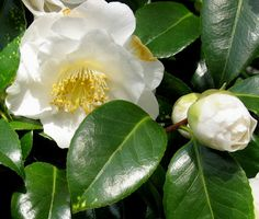 Camellias with white flowers are not as common in the Seattle area as those that have deep rose blooms.