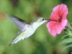 Il était une fois un petit colibri...