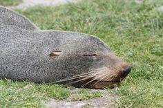 Seal, Kaikoura New Zealand
