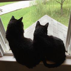 """labbbugs: """"Moje kotki cieszą się nadzorowany rano czasu otwartego okna :) #kitties #cats"""""""