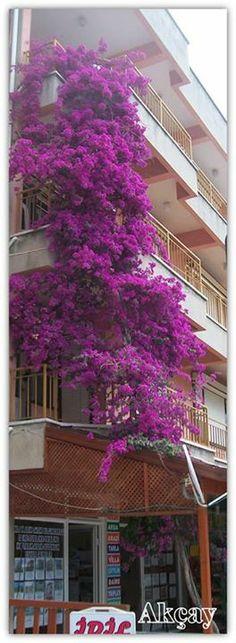 Akçay-Edremit 2013 by Hasan Palabiyik #Pixily #flowers Peeps, Memories, Plants, Beauty, Beautiful, Memoirs, Souvenirs, Plant, Beauty Illustration