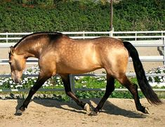 Buckskin Lusitano stallion, Lavrador.