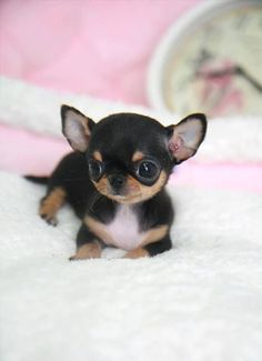 I can't handle the cuteness. Tea cup chihuahua