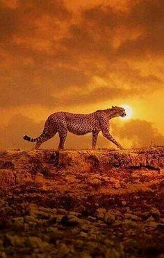 Gepardo, hermoso animal
