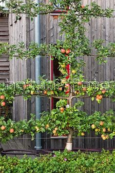 Espalier- a trellis on which ornamental shrub or fruit is trained to grow flat. Perfect Idea for fruit trees Fruit Garden, Garden Trees, Edible Garden, Vegetable Garden, Small Gardens, Outdoor Gardens, English Cottage, Espalier Fruit Trees, Apple Tree