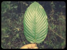 Beautiful Kratom Leaf manufactured by: Nature