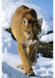 Mountain lion / cougar / puma in winter Western U.A Felis concolor Tom and Pat Leeson Please note that prints cm) Fine Art Print Framed, Poster, Canvas Prints, Puzzles, Photo Gifts and Wall Art Pumas Animal, Mountain Lion, Puma Cat, Animal Posters, Big Cats, Animal Photography, Mammals, Lions, Wildlife