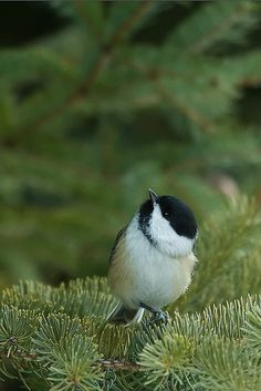 Black-capped Chickadees greet us every morning as they stop by to perch above the hot tub. . .