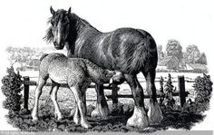 'Shire mare and foal' - Charles Frederick Tunnicliffe British Wildlife, Draft Horses, Wood Engraving, Bird Art, Printmaking, Illustrators, Cool Pictures, London, Art Prints